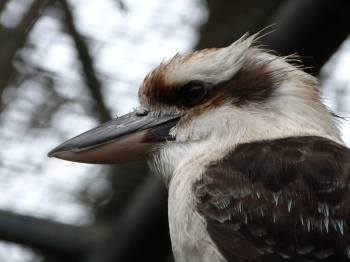 Laughing Kookaburra (Dacelo novaeguineae) Brevard Zoo by Lee