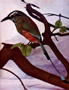 Mexican Mot Mot - Turquoise-browed Motmot (Eumomota superciliosa)