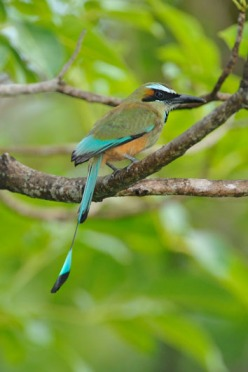 Turquoise-browed Motmot (Eumomota superciliosa) by Reinier Munguia