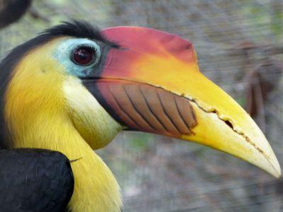 Wrinkled Hornbill (Aceros corrugatus) Brevard Zoo by Lee