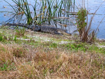 Alligator on bank at Viera Wetlands
