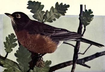 American Robin for Birds Illustrated by Color Photography