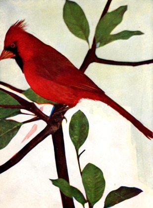 Red Bird - Northern Cardinal for Birds Illustrated