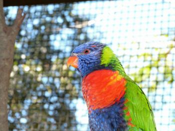 Rainbow (aka Swainson's) Lorikeet by Lee at Lowry Pk Zoo