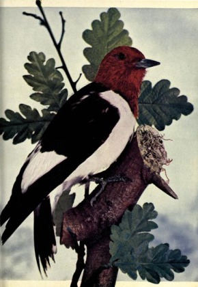 Red-headed Woodpecker (Melanerpes erythrocephalus) - Birds Illustrated