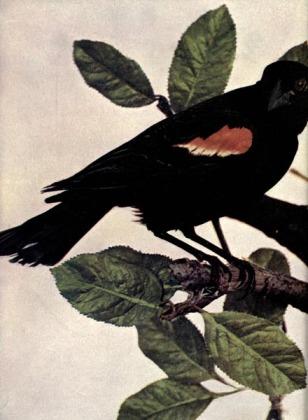 Red-winged Blackbird (Agelaius phoeniceus) - Birds Illustrated
