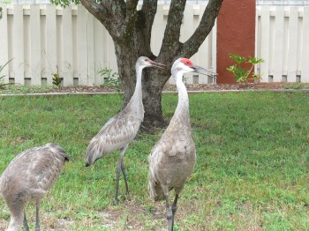 Sandhill Cranes - Adult and Juvenile in yard 8/27/10