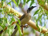 Silver-crowned Friarbird (Philemon argenticeps) by Ian