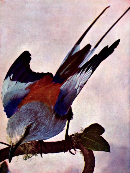 Swallow-tailed Indian Roller for Birds Illustrated by Color Photography - Vol 1-2