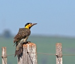 Campo Flicker (Colaptes campestris) by Dario Sanches
