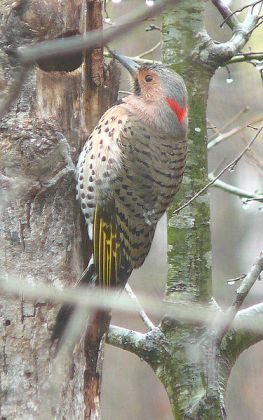 Northern Flicker (Colaptes auratus) Yellow shafted ©WikiC