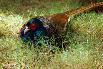 Green Pheasant (Phasianus versicolor) ©©dhruvara