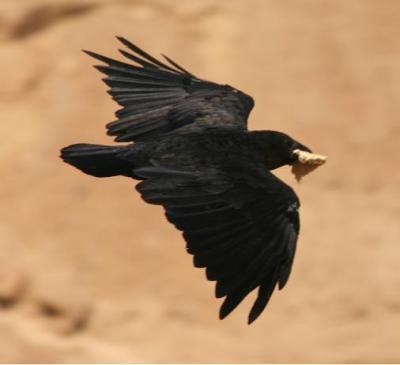 Fan-tailed Raven (Corvus rhipidurus) ©WikiC