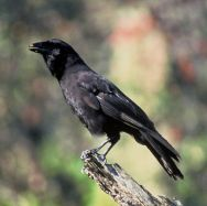 Hawaiian Crow (Corvus hawaiiensis) ©WikiC