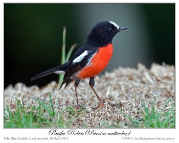 Pacific Robin (Petroica multicolor) by Ian 1