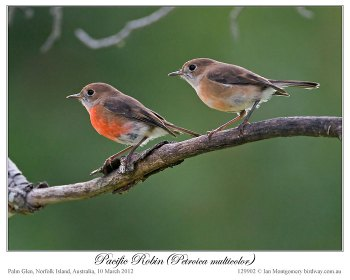 Pacific Robin (Petroica multicolor) by Ian 2