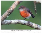Pacific Robin (Petroica pusilla) by Ian 3 Fem