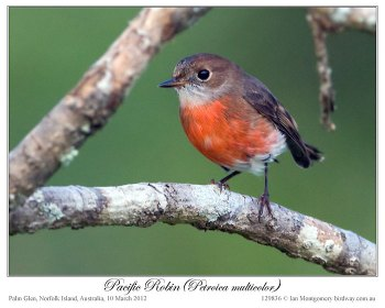 Pacific Robin (Petroica multicolor) by Ian 3 Fem
