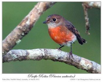 Pacific Robin (Petroica multicolor) by Ian 3 Fem