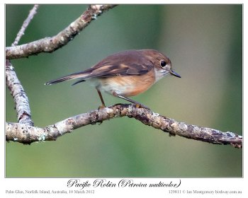 Pacific Robin (Petroica multicolor) by Ian 4 Juv
