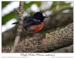 Pacific Robin (Petroica pusilla) by Ian 5