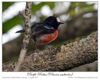 Pacific Robin (Petroica multicolor) by Ian 5
