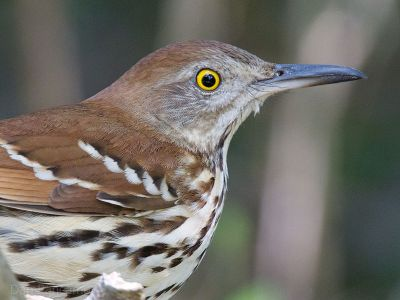 Brown Thrasher (Toxostoma rufum) ©WikiC