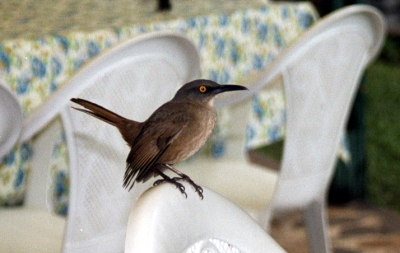 Brown Trembler (Cinclocerthia ruficauda) ©WikiC