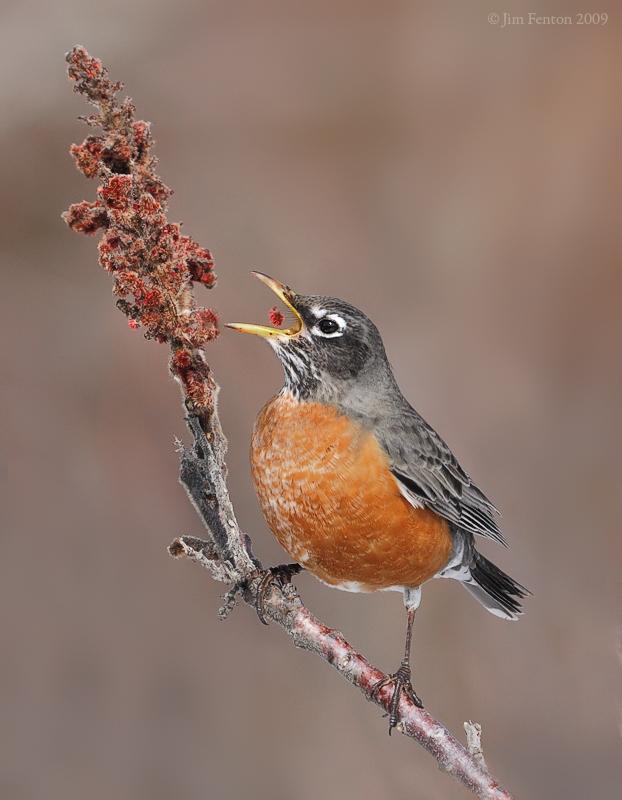 American Robin (Turdus migratorius) eating by Jim Fenton