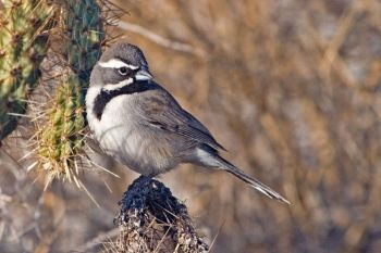 Black-throated Sparrow (Amphispiza bilineata) ©WikiC