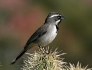 Black-throated Sparrow (Amphispiza bilineata) Wiki