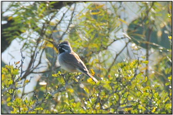 Black-throated Sparrow (Amphispiza bilineata)by Daves BirdingPix