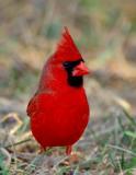 Northern Cardinal (Cardinalis cardinalis) - JFenton