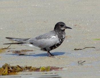 Black Tern (Chlidonias niger) by J Fenton