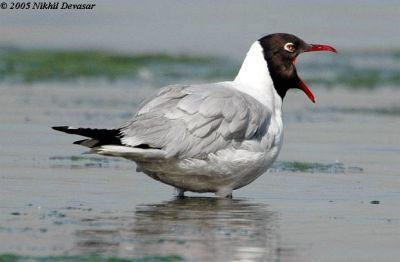 Brown-headed Gull (Chroicocephalus brunnicephalus) by Nikhil Devasar