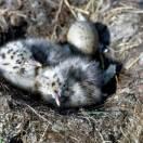 Iceland Gull (Larus glaucoides) chick-egg nest ©USFWS