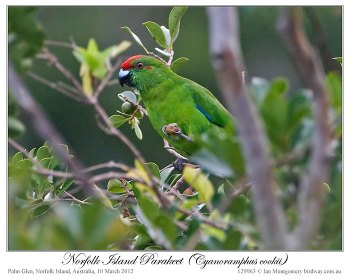 Norfolk Parakeet (Cyanoramphus cookii) by Ian 1