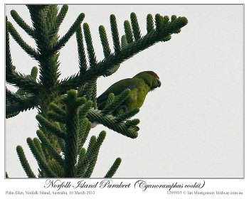 Norfolk Parakeet (Cyanoramphus cookii) (fem or juv) by Ian 2
