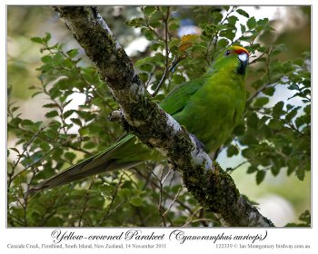 Yellow-crowned Parakeet (Cyanoramphus auriceps) by Ian 1