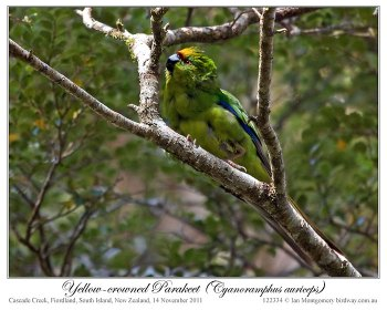 Yellow-crowned Parakeet (Cyanoramphus auriceps) by Ian 2