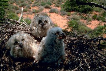 Great Horned Owl (Bubo virginianus) chicks - WikiC