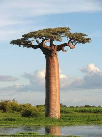Baobab Grandidier (Adansonia grandidieri) ©WikiC