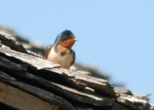 Barn Swallow in Cades Cove by Dan