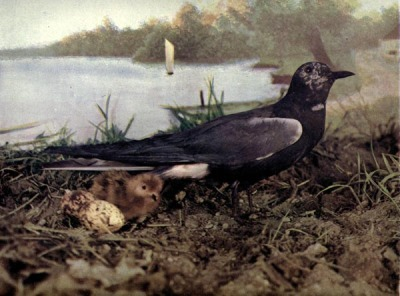 Black Tern, Mother and young with eggs, for Birds Illustrated