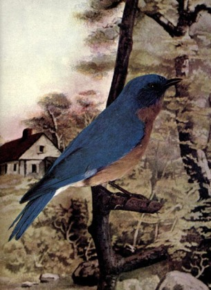 Bluebird - Little Boy Blue