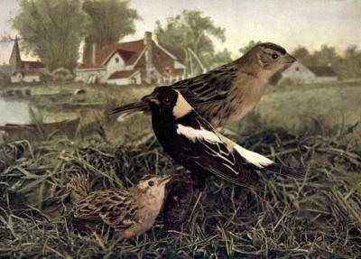 Bobolinks - for Birds Illustrated