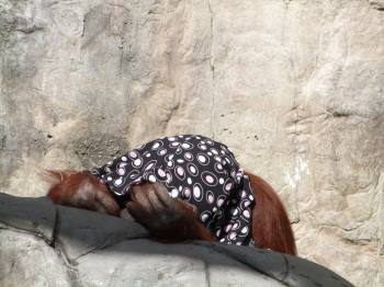 Bornean Orangutan at LPZoo 3-8-12
