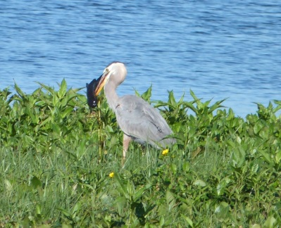 Great Blue Heron with Catfish at Circle B by Lee - cropped