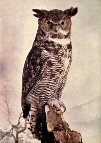Great Horned Owl - Birds Illustrated by Color Photography
