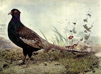 Japan Pheasant for Birds Illustrated